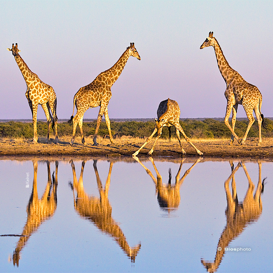Collection animaux du monde 4565 anim014