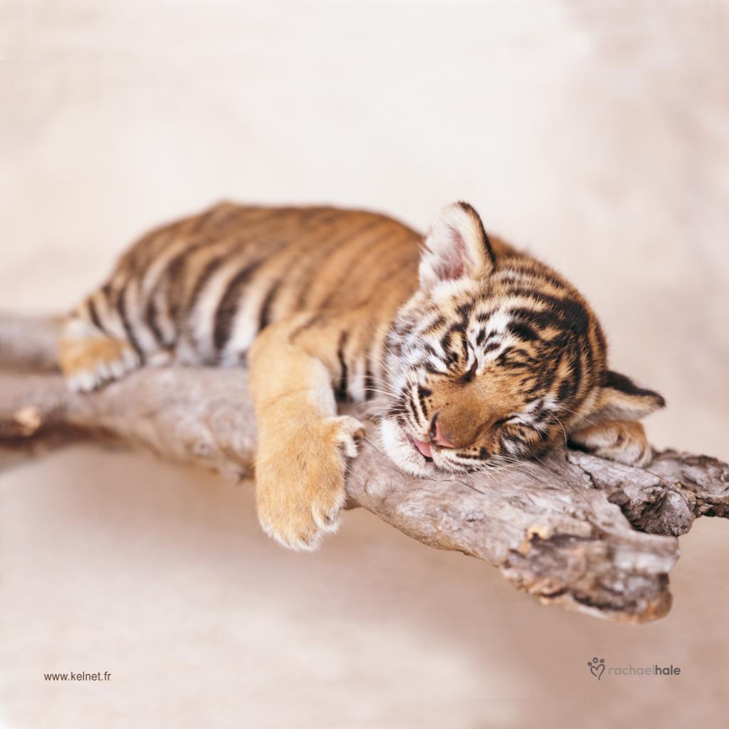 Microfibre lunettes tigre